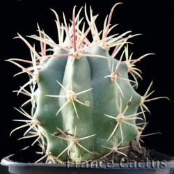 Ferocactus peninsulae var. towsendianus
