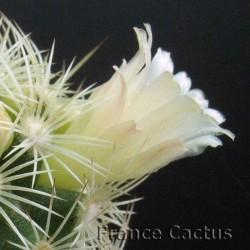 Mammillaria elongata fleur 1