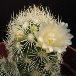 Mammillaria elongata jaune fleur 2