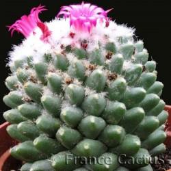 Mammillaria Polythele Inermis fleurs 2