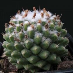 Mammillaria Polythele Inermis pot de 8