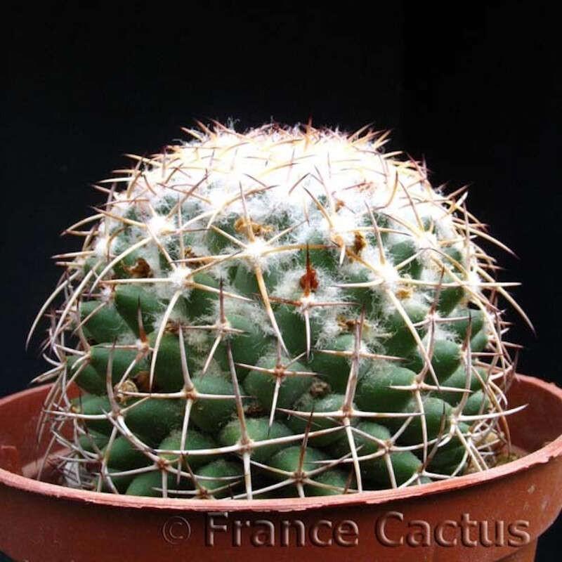 Mammillaria polythele en pot de 8