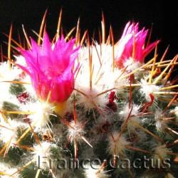 Mammillaria polythele fleurs