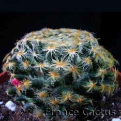 Mammillaria schiedeana ssp schiedeana