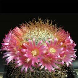 Mammillaria spinosissima fleurs