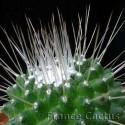"""Mammillaria Spinosissima """"Un Pico"""" Pot de 8 cm"""