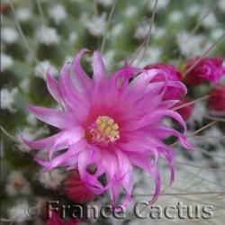 """Mammillaria Spinosissima """"Un Pico"""" fleur 3"""