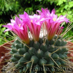 """Mammillaria Spinosissima """"Un Pico"""" fleurs 1"""