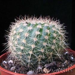 Notocactus apricus