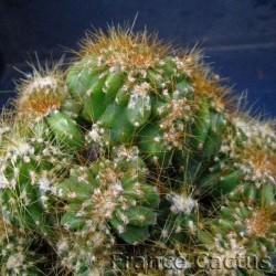 Cereus Hildmannianus fma monstruosa 4