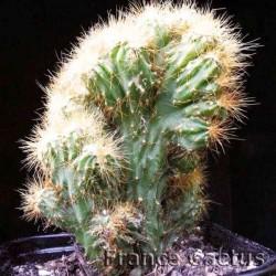 Cereus Jamacaru f. monstruosa 2