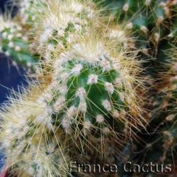 Cereus Jamacaru f. monstruosa 3