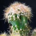 Cereus Jamacaru f. monstruosa 4