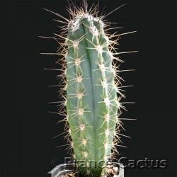 Stetsonia Coryne