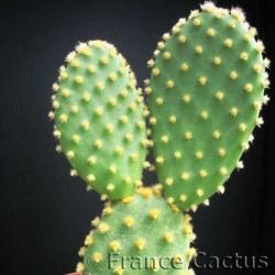 Opuntia Microdasys Palida 2