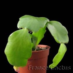 Schlumbergera russeliana pot de 5
