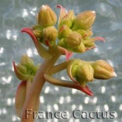Aeonium Haworthii Pot de 8,5 cm