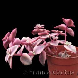 Crassula pellucida ssp.marginalis v. rubra