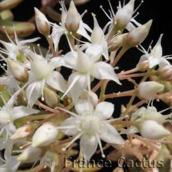 Sedum Nussbaumerianum fleurs