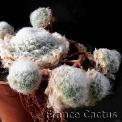 Sempervivum Arachnoideum Pot de 8,5 cm