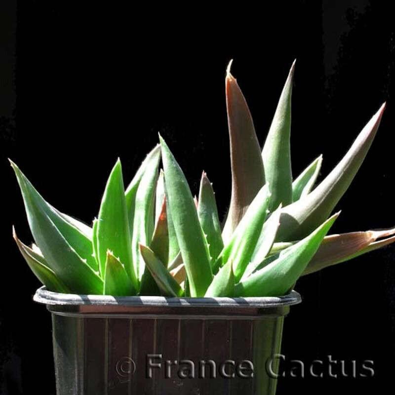"""Aloe cv """"Black Gem"""" pot de 8"""
