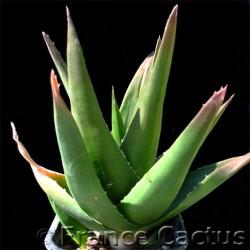 """Aloe cv """"Black Gem"""" 1"""