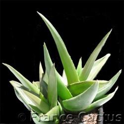 """Aloe cv """"Black Gem"""" 2"""
