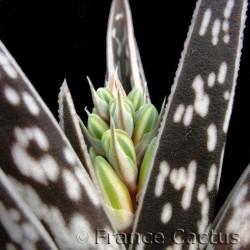 Aloe Variegata fleurs