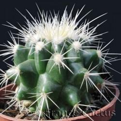Echinocactus Grusonii 2