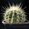 Echinocactus Grusonii 3