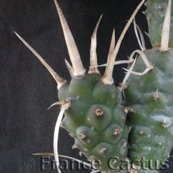 Tephrocactus articulatus var. papyracanthus détail 1