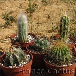 Lot de 5 cactus variés en pots de 10,5 cm
