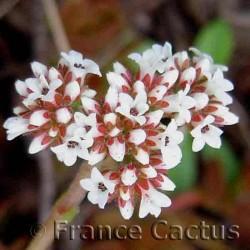 Crassula swaziensis fleurs