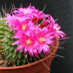 """Mammillaria Spinosissima """"Un Pico"""" fleurs 4"""
