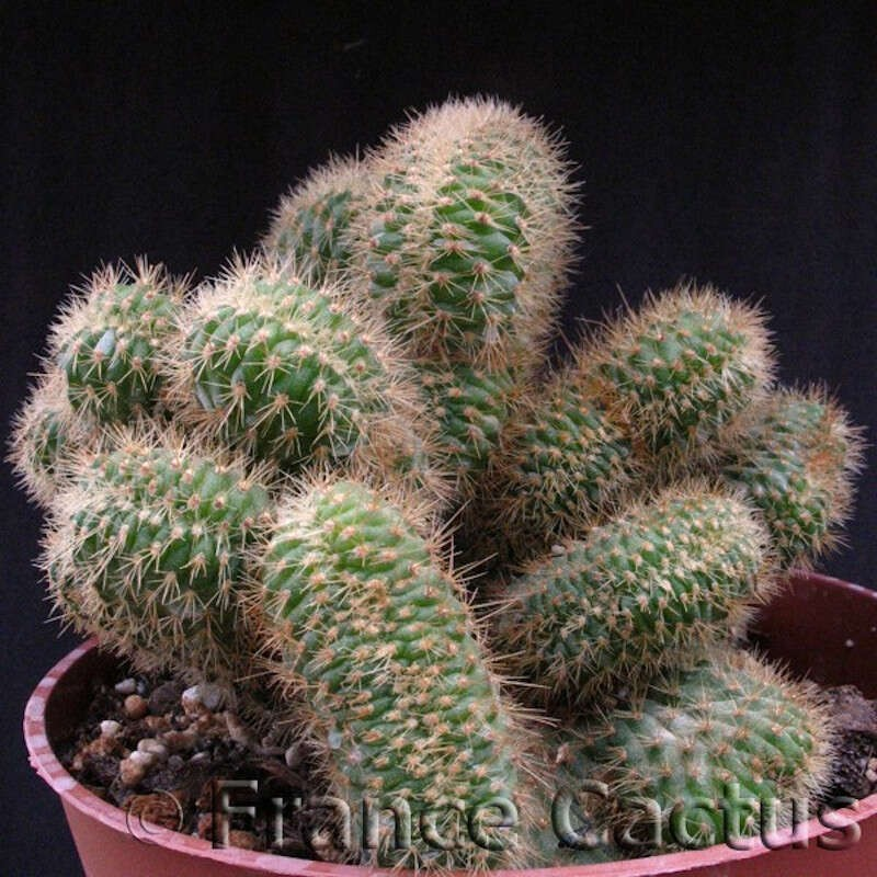 Cleistocactus samaipatanus cristatus