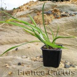 Chlorophytum comosum vert