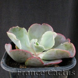 "Echeveria ""Giant blue"" 1"