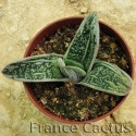 "Gasteria ""Little warty"" 1"