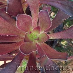 Aeonium arboreum atropurpureum détail
