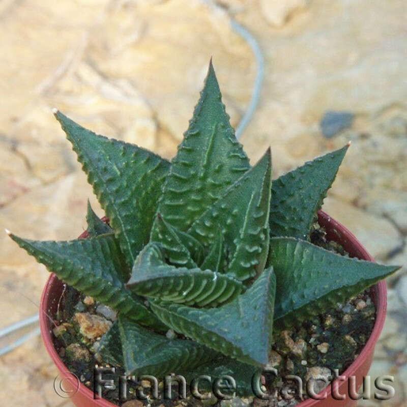 Haworthia limifolia 2
