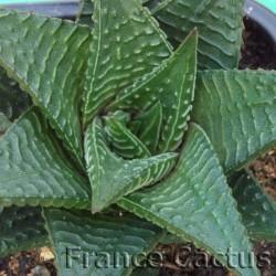 Haworthia limifolia 4