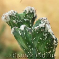 Monvillea spegazzinii f.cristata 4