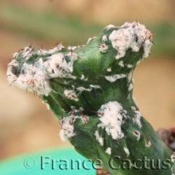 Monvillea spegazzinii f.cristata 5