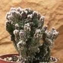 Monvillea spegazzinii f.cristata 2