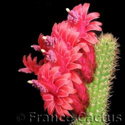 Cleistocactus samaipatanus fleurs