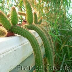 Cleistocactus samaipatanus pot de 8