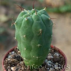 Matucana madisoniorum fleur 3