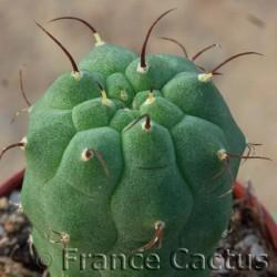 Matucana madisoniorum pot de 5 2