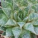 Aloe aristata détail 2