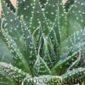 Aloe aristata détail 1